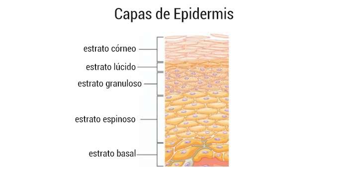 capas de la piel - epidermis